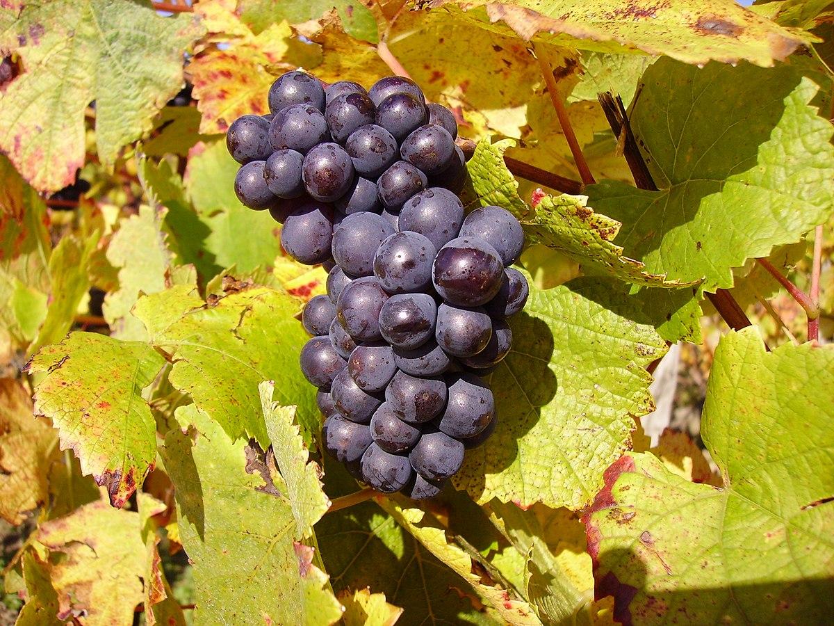 Grape Vine Cutting Sangiovese Clone 1 100