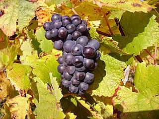 Pinot noir Red wine grape variety