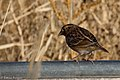 Grasshopper Sparrow (fall plumage) Curly Horse Ranch Rd Sonoita AZ 2017-12-16 09-28-46-2 (38408856734).jpg