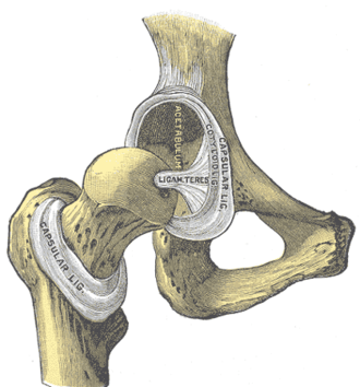 Acetabular labrum - Hip-joint, front view. The capsular ligament has been largely removed. (Cotyloid lig. visible at center.)