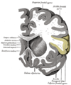 Gray743 inferior frontal gyrus.png