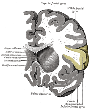 Inferior frontal gyrus.