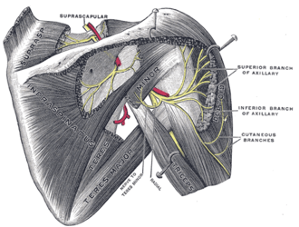 Superior lateral cutaneous nerve of arm - Suprascapular and axillary nerves of right side, seen from behind.