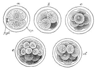 Formazione della morula.