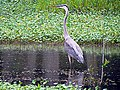 Great Blue Heron Huntley Meadows Park Alexandria VA 1826 (30182280885).jpg