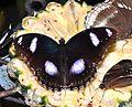 Great Eggfly (Hypolimnas bolina) (8436617747).jpg