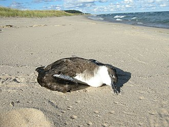 Vagrancy (biology) - Vagrant birds in unfamiliar habitats may end up dying from stress or a lack of food, as happened to this great shearwater that was found at Sleeping Bear Dunes National Lakeshore on Lake Michigan