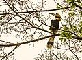 Great hornbill at Anamalai.jpg