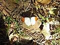 Great orange tip Hebomoia glaucippe.jpg