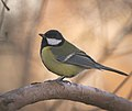 Great tit (31260380763).jpg
