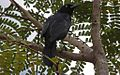 Greater Antillean Grackle (Quiscalus niger) (8591587663).jpg