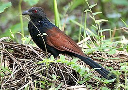 Greater Coucal I IMG 7775.jpg