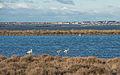 Greater Flamingos, Lido de Thau, Sète 07.jpg