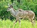 Greater Kudu (Tragelaphus strepsiceros) young male ... (51136935911).jpg