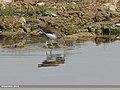 Green Sandpiper (Tringa ochropus) (34122087443).jpg