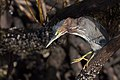 Green heron shell creek mangroves (23939083032).jpg