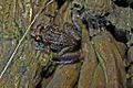 Greenhouse Frog (Eleutherodactylus planirostris) (8571332819).jpg
