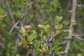 Grewia robusta01.jpg
