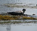 Grey seal, Rathlin Island (1) - geograph.org.uk - 818686.jpg