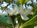 Guava flower.JPG