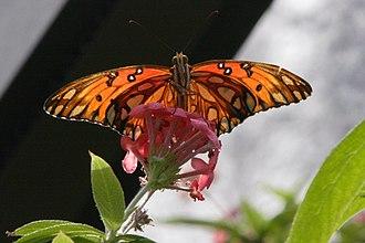 Monsanto Insectarium - Image: Gulf Fritillary
