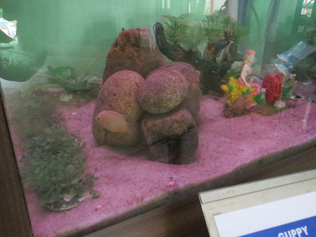 Fish aquarium in coimbatore - File Guppy Fish Voc Park Coimbatore Jpg
