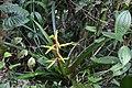 Guzmania xanthobractea.jpg