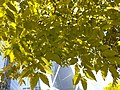 HK 香港公園 Hong Kong Park 植物 樹木 plant yu tree green leaves December 2020 SS2 03.jpg
