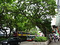 HK TST Nathan Road green Sidewalk Chinese Banyan trees Aug-2015 DSC (20).JPG