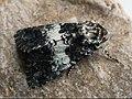Hadena compta - Varied coronet - Семенная совка гвоздичная (43171079304).jpg