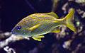 Haemulon flavolineatum Aquarium tropical du Palais de la Porte Dorée 10 04 2016 2.jpg