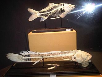 Bowfin - The lower figure is a skeleton of the bowfin. The pelvic and pectoral girdles are both visible and the axial and cranial elements are also both present.