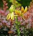 Hanson's Lily Lilium hansonii Flower 1637px.jpg