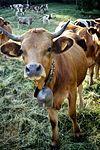 Happy Cow (19805268310).jpg