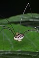 Harvestman (Opiliones) - Kitchener, Ontario 01.jpg