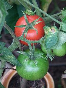 Solanum_lycopersicum