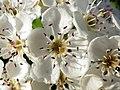 Hawthorn (Crataegus monogyna) (34631013046).jpg