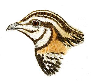 Rain quail - Drawing of the head of a rain quail