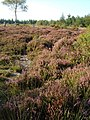 Heather, Haldon Plantation - geograph.org.uk - 239581.jpg