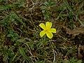 Helianthemum nummularium plant (01).jpg