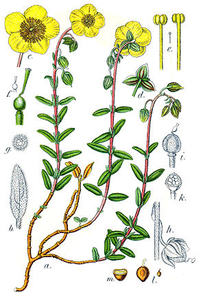 helianthemum nummularium