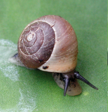 live snail with brown shell