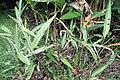 Heliconia psittacorum 27zz.jpg