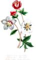 Helleborus lividus, Helleborus niger, Trollius europeus.png