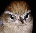 Hellmayrea gularis brunneidorsalis (15448522289).jpg