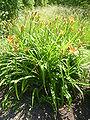 Hemerocallis fluva 'Orange day lily' (Hemerocallidaceae) plant.JPG