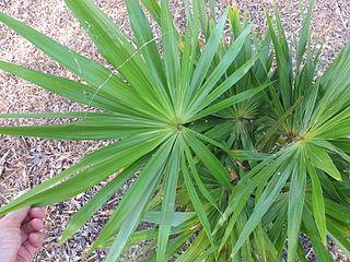 <i>Hemithrinax compacta</i> species of plant