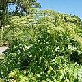 Heracleum mantegazzianum-IMG 0914.jpg