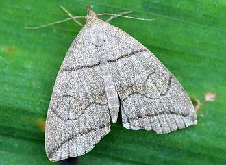 Herminiinae - Herminia grisealis