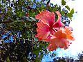 Hibiscus Thiruvananthapuram.jpg